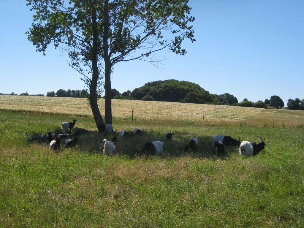 Gederne vælger at græsse i skyggen på en dejlig varm sommerdag.