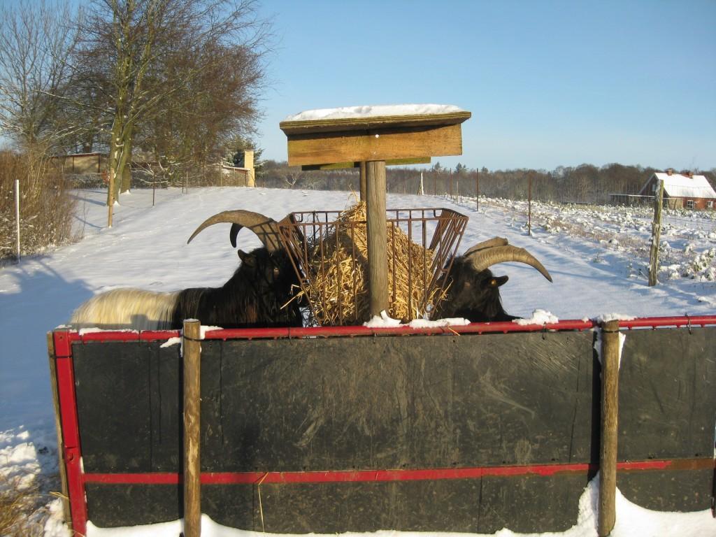 Bukkene æder wrap og halm i massevis i det kolde vejr. En plade på den ene side af høhækken giver dels læ og dels en beskyttet adgang til høhækken for et dyr, der er lavere i hierakiet. De fire bukke, vi har i øjeblikket, er dog rare ved hinanden.